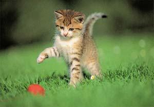 Неугомонный пятнистый котенок честно пытался уцепить мяч зубами...