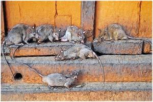 Крысы в доме Зеленого Доктора